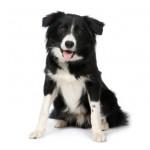 Medium honden
